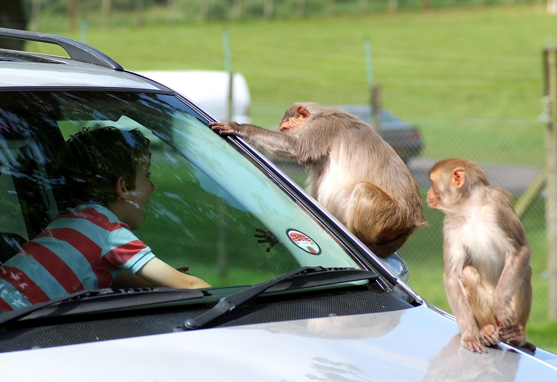 朗利特野生动物园是英国60多年来最受欢迎的景点之一, 面积辽阔的野生动物园内,由【BBC动物乐园】,【CBBC狮吼乐园】及其它15个绝妙景点,包括耗资百万英镑的全新【丛林王国】和【朗利特别墅 】(Longleat House)。 【朗利特野生动物园】   英国排名第一的野生动物园最早于1966年4月向公众开放,是非洲以外地区向游客开放的同类公园中的首例。园内,动物可以在数百英亩的土地上自由行走。很难想象当初朗利特计划开放一百英亩非洲狮保护区时引来的愤怒,有人警告大型猫科动物会在威尔特郡(Wiltshire